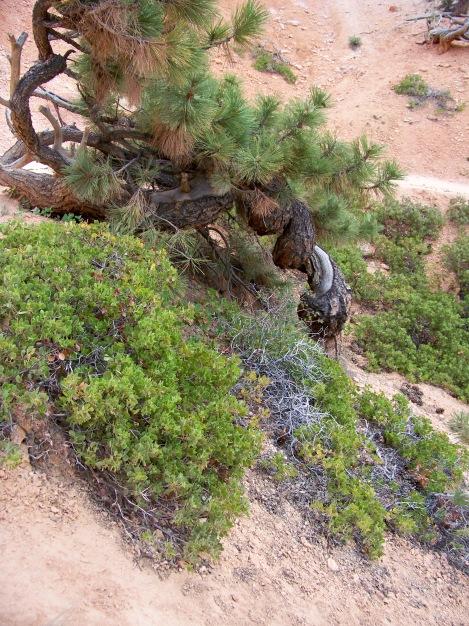 juniper tree spiral